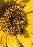 Una abeja recoge el néctar de una flor de un girasol Imagen de archivo