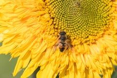 Una abeja recoge el néctar de una flor de un girasol Fotografía de archivo
