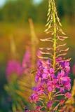 Una abeja recoge el néctar de kiprei fotografía de archivo