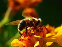 Una abeja recoge el néctar de la flor Foto de archivo libre de regalías