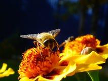 Una abeja recoge el néctar de la flor Imágenes de archivo libres de regalías