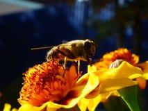 Una abeja recoge el néctar de la flor Fotos de archivo