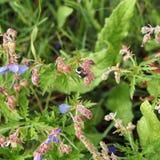 Una abeja recoge el néctar de las flores del prado del geranio Imagen de archivo