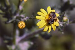 Una abeja recoge el néctar de una flor amarilla Imagen de archivo