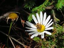 Una abeja recoge el néctar de una manzanilla de la montaña Imagen de archivo