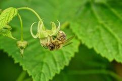 Una abeja recoge el néctar de una pequeña flor en un arbusto de frambuesa Imágenes de archivo libres de regalías