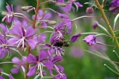 Una abeja recoge el néctar de una planta del campo Foto de archivo