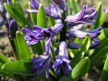 Una abeja recoge el néctar del jacinto azul ese las floraciones en la aguamiel Imagen de archivo libre de regalías