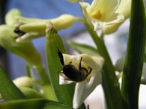 Una abeja recoge el néctar del jacinto blanco Imagenes de archivo