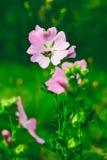 Una abeja recoge el néctar del lavatera hermoso Thuringian de las flores del rosa salvaje Imagen de archivo