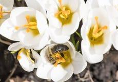 Una abeja recoge el néctar en azafrán Imagenes de archivo