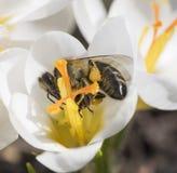 Una abeja recoge el néctar en azafrán Foto de archivo