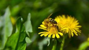 Una abeja recoge el néctar en el diente de león en el jardín 5 almacen de video