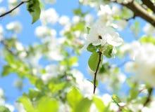 Una abeja recoge el néctar en flor de la manzana en un día soleado en primavera Imagenes de archivo