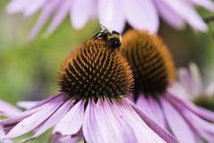 Una abeja recoge el néctar en una flor del echinacea Imagen de archivo libre de regalías