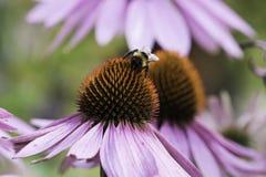 Una abeja recoge el néctar en una flor del echinacea Fotografía de archivo libre de regalías