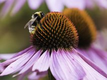 Una abeja recoge el néctar en una flor del echinacea Fotografía de archivo