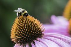 Una abeja recoge el néctar en una flor del echinacea Fotos de archivo