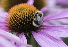 Una abeja recoge el néctar en una flor del echinacea Foto de archivo libre de regalías