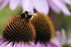 Una abeja recoge el néctar en una flor del echinacea Imagen de archivo