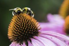Una abeja recoge el néctar en una flor del echinacea Foto de archivo