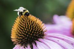 Una abeja recoge el néctar en una flor del echinacea Fotos de archivo libres de regalías