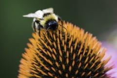 Una abeja recoge el néctar en una flor del echinacea Imágenes de archivo libres de regalías