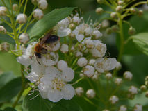 Una abeja recoge el néctar en las flores Foto de archivo