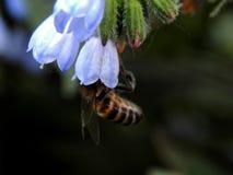 Una abeja recoge el néctar en las flores Imagenes de archivo