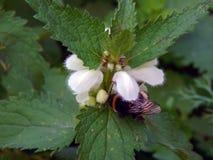 Una abeja recoge el néctar en las flores Imagen de archivo