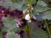 Una abeja recoge el néctar en las flores Fotos de archivo