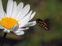 Una abeja recoge el néctar en las flores Imagen de archivo libre de regalías