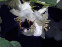 Una abeja recoge el néctar en las flores Fotos de archivo libres de regalías