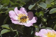 Una abeja recoge el néctar en una flor de un dogrose Imagen de archivo libre de regalías