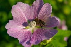 Una abeja recoge el polen de la malva Imagenes de archivo