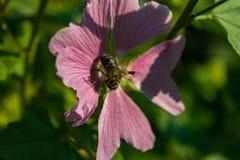 Una abeja recoge el polen de la malva Imágenes de archivo libres de regalías