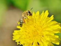 Una abeja recoge el polen de un diente de león Imágenes de archivo libres de regalías