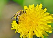Una abeja recoge el polen de un diente de león Imagen de archivo