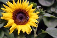 Una abeja recoge el polen en el girasol grande Imágenes de archivo libres de regalías