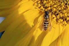 una abeja recoge el polen en un girasol de la flor Foto de archivo libre de regalías