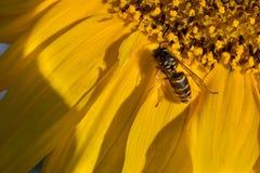 una abeja recoge el polen en un girasol de la flor Fotos de archivo libres de regalías