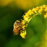 Una abeja recoge el polen en una flor amarilla Fotografía de archivo libre de regalías