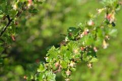 Una abeja recoge el polen en una rama de una grosella espinosa floreciente encendido Fotos de archivo