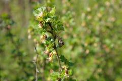 Una abeja recoge el polen en una rama de una grosella espinosa floreciente encendido Fotos de archivo libres de regalías