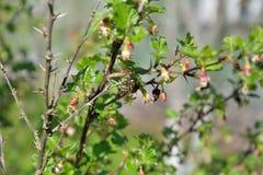 Una abeja recoge el polen en una rama de una grosella espinosa floreciente encendido Fotografía de archivo