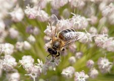 Una abeja recoge el primer del néctar Imagen de archivo