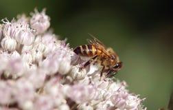 Una abeja recoge el primer del néctar Imagen de archivo libre de regalías