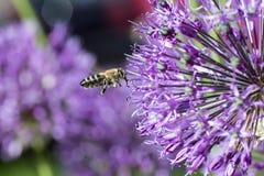 Una abeja recoge la miel, una inflorescencia de un arco decorativo, una PU Fotografía de archivo libre de regalías