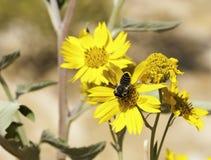 Una abeja recolecta el polen en una margarita salvaje Imagen de archivo