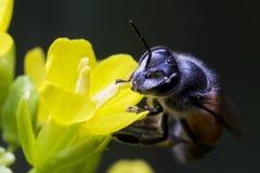 Una abeja se encarama en la flor amarilla Fotos de archivo libres de regalías